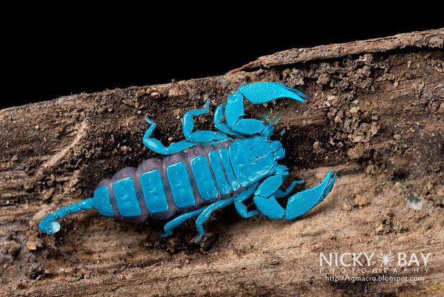 Scorpion under UV (Liocheles sp.) - DSC_9442