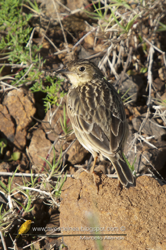 Cachirla chica (Yellowish Pipit) Anthus lutescens