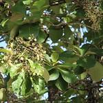 Tectona grandis leaf and inflorescense