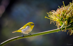 Oriental White Eye(Sultanpur Bird Sanctuary,India)