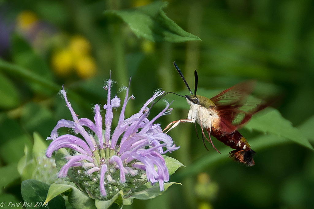 Hummingbird Clearwing Moth [Hemaris thysbe] on Bee Balm [Monarda]