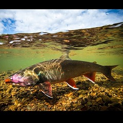 Unalakleet River Lodge has a new website. Check it out at www.unalakleet.com #flyfishing #char #alaska #unalakleetriverlodgr #catchandrelease