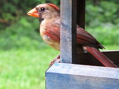 Oh So Pretty Cardinal!