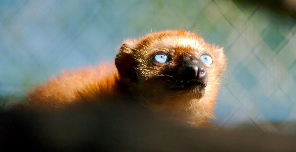 Blue Eyed Lemur_2