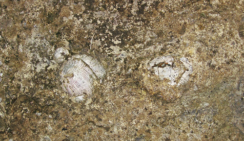 Brachiopod fossils in weathered limestone (Upper Mercer Limestone, Middle Pennsylvanian; Rock Cut railroad cut, south-southeast of Dresden, Ohio, USA) 3