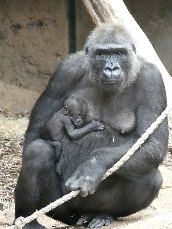 Gorilla Dian mit Xetsa, Zoo Frankfurt