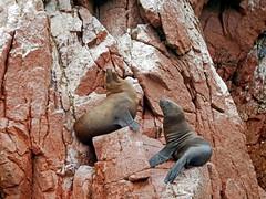 Happy seal couple