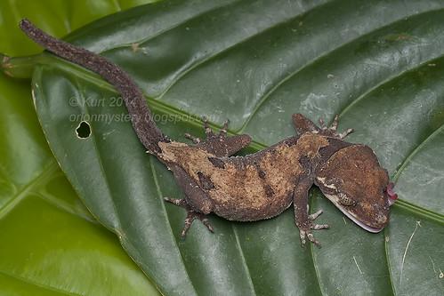 Cyrtodactylus elok IMG_9596 copy