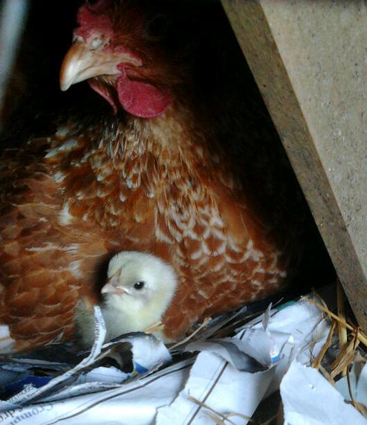 foster hen