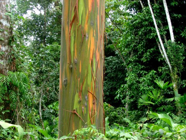 painted-eucalyptus,-Cahuita