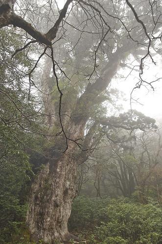 【写真】離島めぐり : 縄文杉