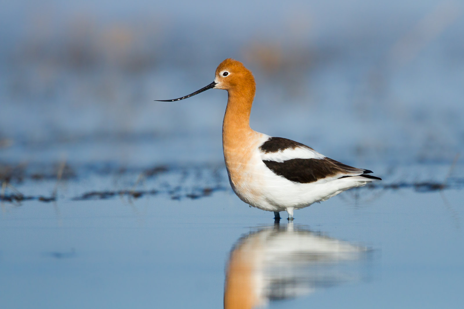 One of my targets to see the stunning American Avocet. This photo was taken by Ilya Povalyaev and was legally embedded from the photographer's Flickr account. All rights reserved by Ilya Povalyaev.