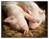 Sleeping Piggies by MarieDolphin.com
