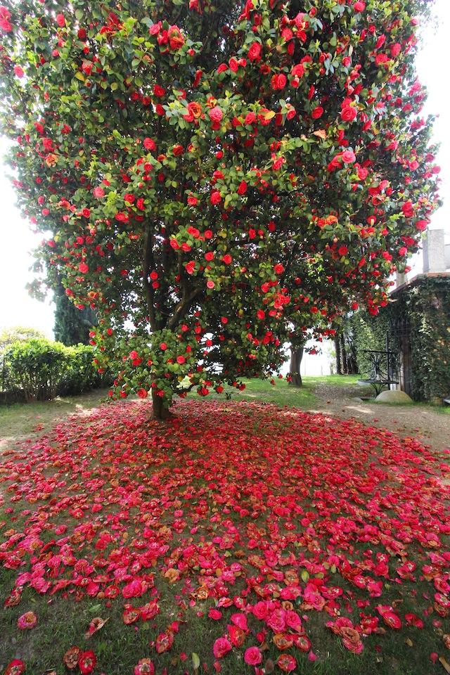 Lago Maggiore Orta spring trees in bloom