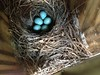 A: Clutch of 5ive #Bluebird eggs! - h1142