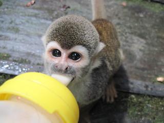 Bodhi monkey