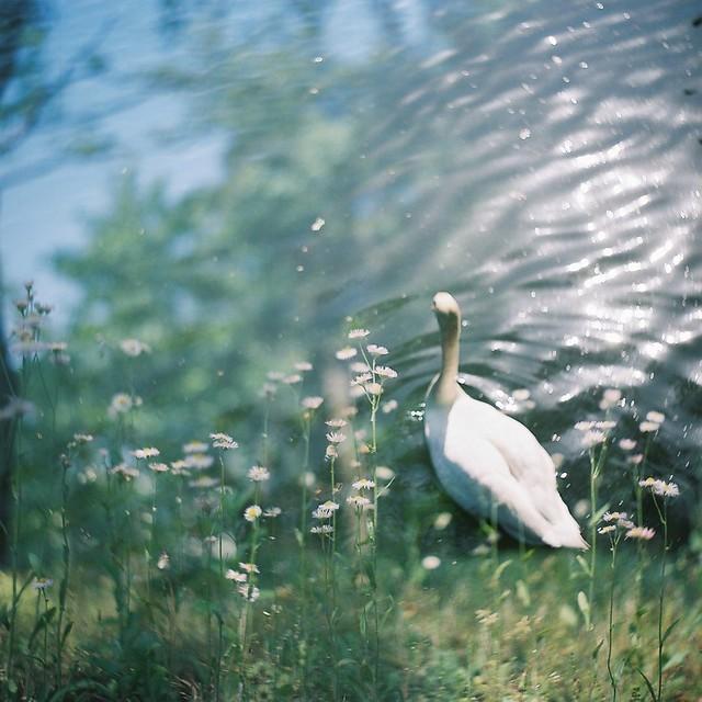*swan