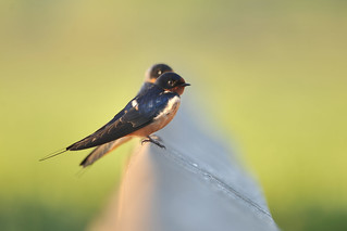 Barn Swallows taking a break from catching airborne insects on a balmy May morning. One more image in comments.