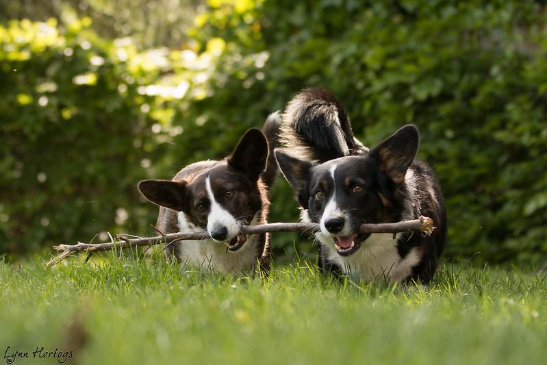 1 stok, 2 hondjes