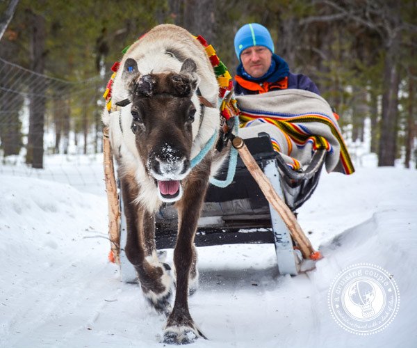The Culture of Sami Reindeer Herding | Finnish Lapland Finnish Reindeer Sleigh