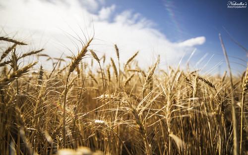 summer food usa west field june canon texas tx wheat grain harvest westtexas staple lubbock 6d 2014 14mm rokinon neshadhasphotography neshadha