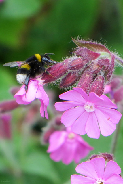 Bee on campion