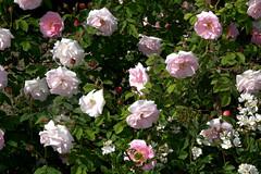 ¿Por qué quejarse en mayo de no tener suficientes rosas?