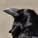 The intelligent Common Raven