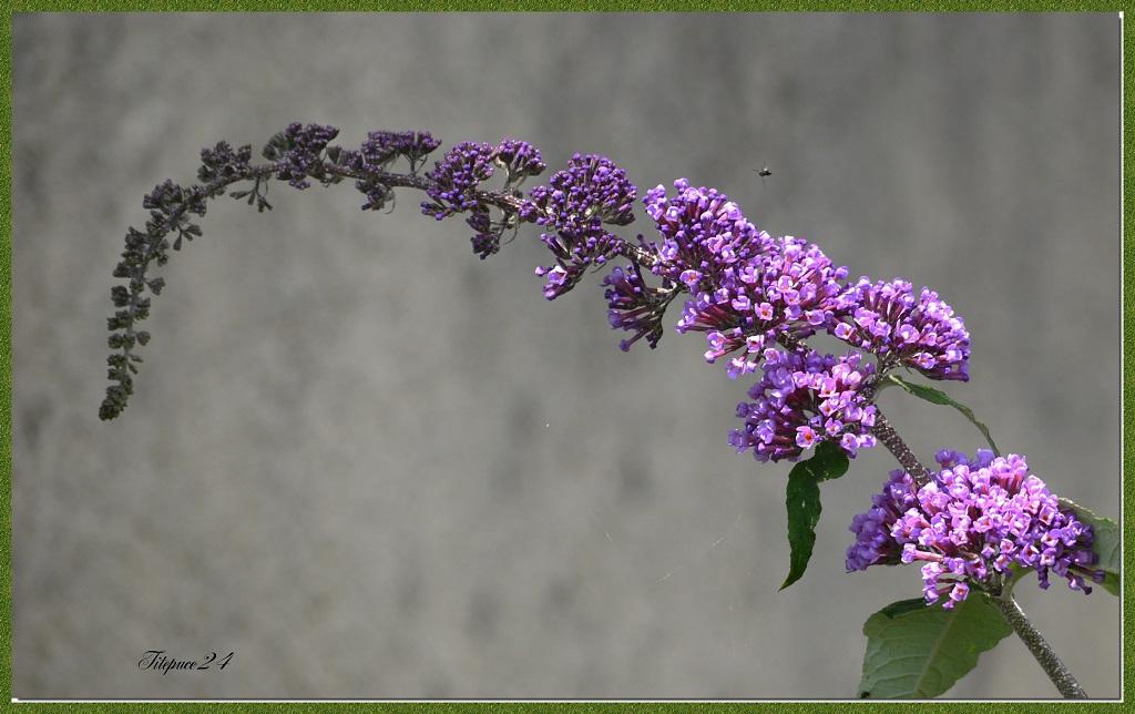 La première fleur de l'arbre à papillons + correction 14211876950_848a8cbd07_o