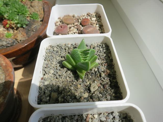 Фаукария тигрина растет