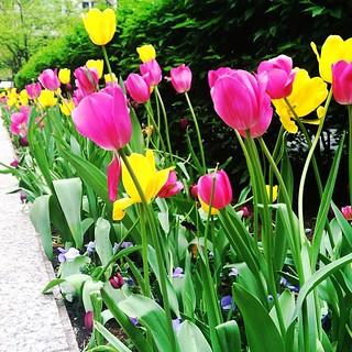Tulips around town.