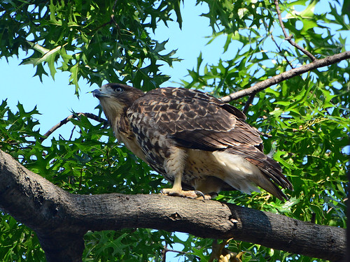 Cathedral Hawk Fledgling - 2973