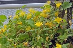 Loacaceae