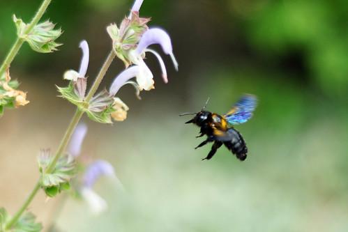 Biene Bienen Holzbiene Nektar Blüte Blüten
