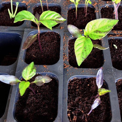 Long purple cayenne pepper seedlings