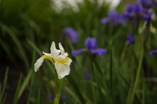 White Iris in the  Sunken Garden at Highfield Hall