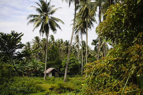 A hut in a coconut plantation.