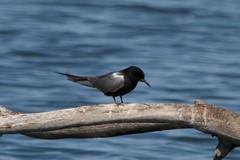 Black Tern|Malheur NWR|OR | 2014-05-14at10-33-4917