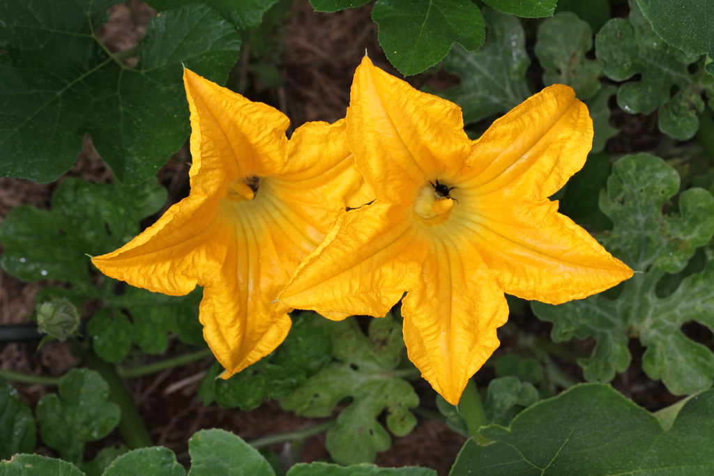 Vitamin K In Pumpkin Flowers  Cooked  Boiled  Drained