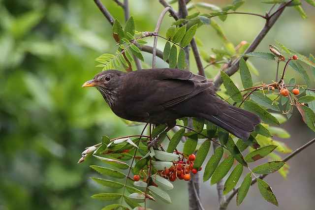 Blackbird female plundering rowan berries Siblands 6.7.2014 (1)