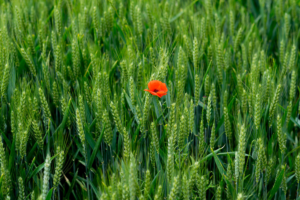 Poppy & Wheat Field