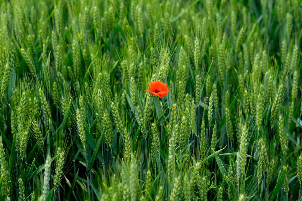 Poppy & Wheat Field