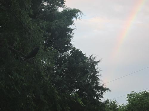 crow rainbow
