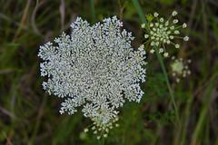 flower, leaf, plant, nature, herb, anthriscus, wildflower, flora, caraway,