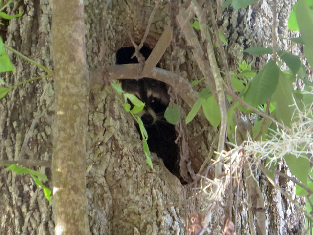 Raccoon [Procyon lotor]