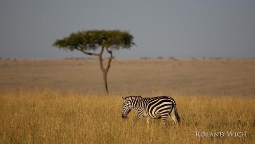 africa kenya safari mara zebra afrika kenia masai