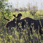 Moose taking a bite