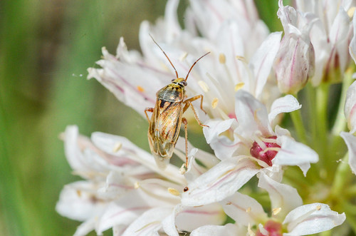 <p><i>Lygus</i> sp., Miridae<br /> Ferry Point Landing, Alberta, Canada<br /> Nikon D5100, 105 mm f/2.8<br /> June 22, 2014</p>