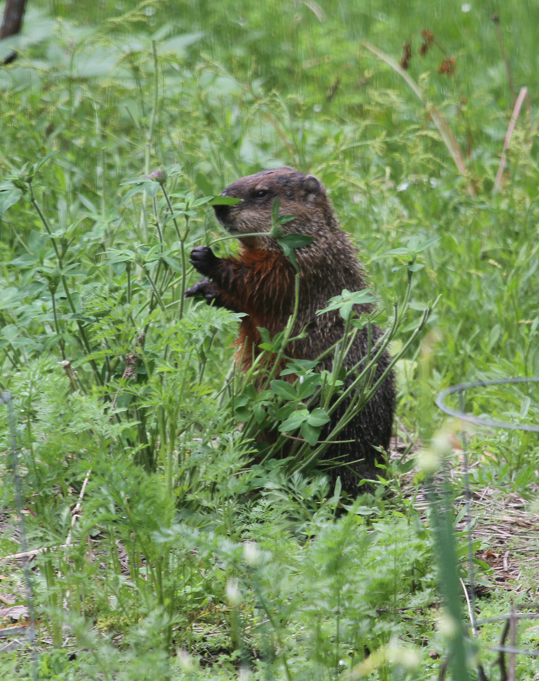 busy groundhog