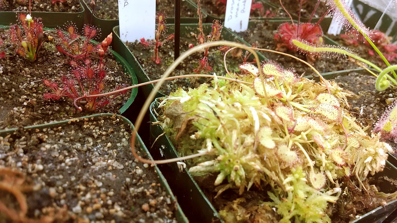 Drosera prolifera flower stalk.